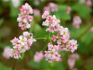Tam giác mạch - loài hoa khiến giới trẻ Việt Nam phát cuồng