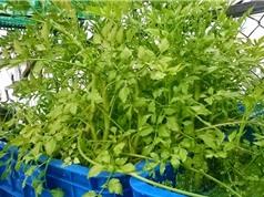 Đồng Nai: Ứng dụng công nghệ cao trong sản xuất rau cần đước