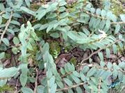 Cao Bằng: Nhân giống và phát triển cây thạch lộc thiết bì bằng công nghệ nuôi cấy mô