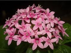 Diễm châu - loài hoa đẹp giúp sân vườn thêm hương sắc