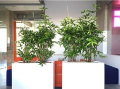 Kỹ thuật trồng và chăm sóc cây trúc Nhật
