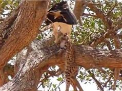 Clip: Đại bàng bỏ mạng vì cả gan bắt báo săn con