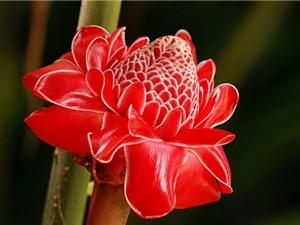 Chiêm ngưỡng loài hoa sen độc nhất vô nhị trên thế giới