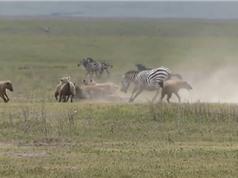 Clip: Sư tử đắc lợi từ cuộc chiến giữa ngựa vằn và linh cẩu
