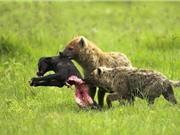 Clip: Bầy linh cẩu xé xác trâu rừng con dã man