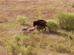 Clip: Bò rừng bison chiến đấu với chó sói bảo vệ con