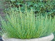 Tự trồng cỏ xạ hương vừa làm cảnh vừa trị được bách bệnh
