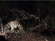 Clip: Mải tranh đấu, hai con báo bị linh cẩu cướp mất mồi