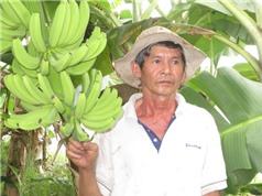 Mô hình trồng chuối già Nam Mỹ xuất khẩu đầu tiên ở huyện Long Hồ