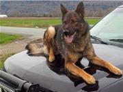 Chó nghiệp vụ tự nổ súng khi truy tìm nghi phạm
