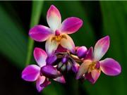 Lan chu đình - loài hoa đẹp được dùng làm thuốc