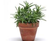 Hướng dẫn trồng cây hương thảo giúp giảm stress, đuổi muỗi hiệu quả