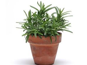 Hướng dẫn trồng cây hương thảo giúp giảm strees, đuổi muỗi hiệu quả