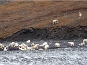 Hàng trăm gấu bắc cực cùng đổ xô đi xẻ thịt cá voi