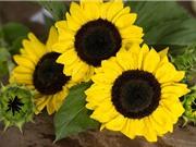 Kỹ thuật trồng và chăm sóc hoa hướng dương cho tổ ấm thêm hương sắc