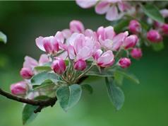 Cận cảnh vẻ đẹp thuần khiết của hoa táo tây