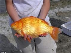 Cả thành phố điêu đứng vì hàng nghìn con cá vàng