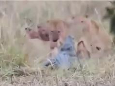 Clip: Màn giao chiến ác liệt giữa cá sấu với đàn sư tử