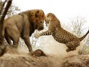 Clip: 10 cuộc chiến ấn tượng nhất trong thế giới động vật