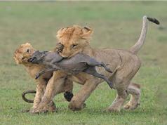 Clip: Bầy sư tử hành hạ lợn bướu con cực kỳ dã man