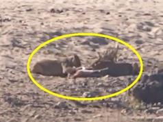 Clip: Linh dương Impala tự mình dâng tính mạng cho sư tử