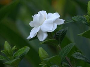 Dành dành - loài hoa thơm hàng đầu thế giới