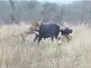 Clip: Sư tử đực hợp sức hạ sát trâu rừng