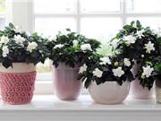 Học cách trồng hoa dành dành dùng được cả lá, hoa lẫn quả
