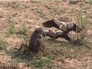 Clip: Ngỗng chiến đấu ác liệt với khỉ đầu chó