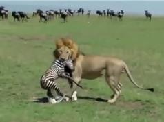 Clip: Vừa chào đời, ngựa vằn con đã bị sư tử xé xác