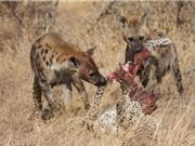Clip: Những khoảnh khắc săn mồi kinh hoàng của linh cẩu