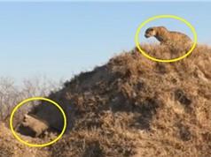 Clip: Chủ quan, lợn rừng bị báo hoa mai hạ sát