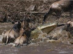Clip: Mải uống nước, linh dương đầu bò chết thảm