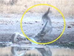 Clip: Linh dương Antilope may mắn thoát chết trước hàm cá sấu
