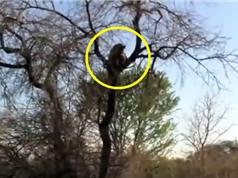 Clip: Báo hoa mai tha xác linh cẩu lên cây để ăn thịt