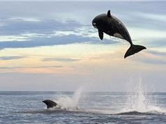 Cá voi sát thủ tung mình vồ hụt cá heo