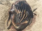 Đàn cá sấu xúm lại xé xác cá voi khổng lồ