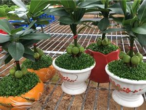 Kỹ thuật trồng và chăm sóc cây may mắn tài lộc để bàn