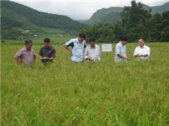 Yên Bái: Bảo tồn, phát triển giống lúa nếp Tú Lệ