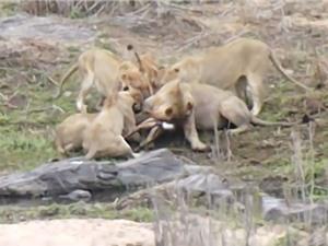 Clip: Bầy sư tử đói xé xác linh dương cực kỳ dã man