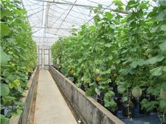 Phú Yên trồng thử nghiệm dưa lưới trong nhà màng