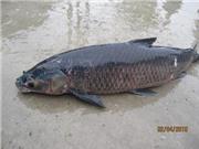 Nuôi cá trắm đen Mylopharyngodon piceus thương phẩm trong ao và lồng