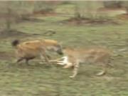 Clip: Linh cẩu vô tình cứu linh dương thoát chết trước miệng báo săn