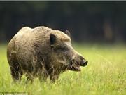 Lợn rừng bị bắn chết vì nhiễm phóng xạ quá mạnh