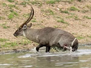 Clip: Bị cá sấu bắt, linh dương Waterbuck vẫn thoát chết ngoạn mục