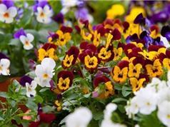 Cách trồng hoa păng xê cho ban công đẹp lung linh