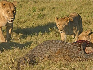 CLIP ĐỘNG VẬT ĐẠI CHIẾN ẤN TƯỢNG NHẤT TUẦN: Cá sấu ác chiến với sư tử, báo xé xác linh dương