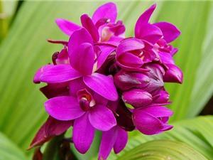 Hướng dẫn trồng và chăm bón lan chu đình cho hoa nở quanh năm
