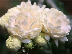 Ngắm vẻ đẹp thuần khiết của loài hoa thơm thứ 2 thế giới