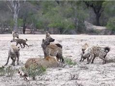 Clip: Bầy linh cẩu đánh hội đồng khiến sư tử chạy trối chết